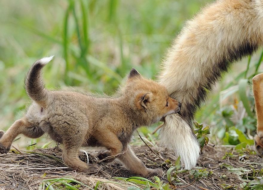 fox cute baby