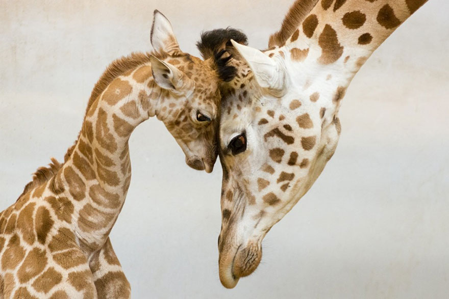 mommy daddy giraffe cute